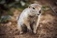 Cute funny gophers are eating,kamchatka peninsula,,Russia.