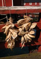 Dried codfish in the Nusfjord village , flakstadoya Island , Lofoten , Norway