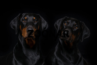 Two doberman dogs on black background