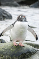 young Gentoo Penguin with the rest of the fluff on his head which stands on a stone on the ocean shore on a cloudy summer day