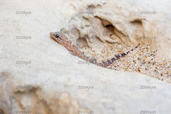 Europäischer Halbfinger - Hemidactylus turcicus