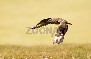 Close up of Great skua in flight
