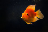 Beautiful orange goldfish koi fish in dark water