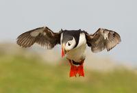 Atlantic puffin in flight