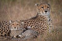 Close-up of cheetah and cub in savannah