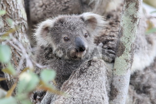 A wild Koala and its baby sitting in a tree. on Magnetic Island, Queensland Australia
