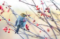 Pine grosbeak, Pinicola enucleator, female bird feeding on berries