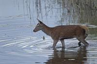 Rotwildkalb in einem Teich