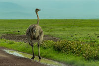 Female ostrich stands in puddle by roadside