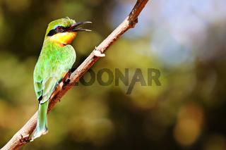 Zwergspint, South Luangwa Nationalpark, Sambia, (Merops pusillus)  |  little bee-eater, South Luangwa National Park, Zambia, (Merops pusillus)