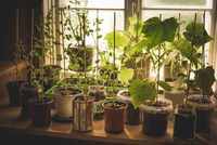A kitchen-garden with organic, homegrown young vegetables plants of cucumber, snow peas and pepper growing in different reused potts on kitchen countertop in front of window