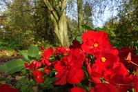 Herbststimmung im Kurpark - rot blühende Begonien (Begonia spec.)