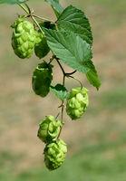 Hopfen, Humulus lupulus