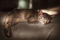 Portrait of Sleeping Kitten