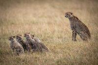 Cheetah sitting behind four cubs in savannah