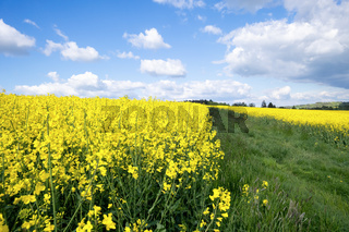 rape field spring background