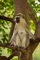 Vervet monkey sitting in tree looking left
