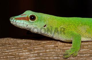 Phelsuma madagascariensis day gecko, Madagascar