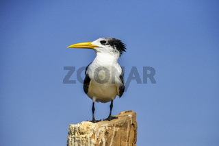 Greater crested tern, Thalasseus bergii at  Goa, India.