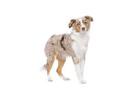 red merle Miniature American Shepherd
