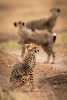 Cheetah cub sitting on track with others