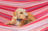 little cross breed dog in hammock