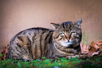 Old bored cat laying in grass in front of brownish wall