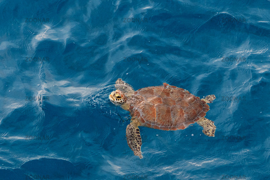 Sea turtle at the gulf of mexico.