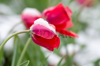 The tulips under the snow.