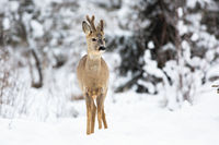 Roe deer buck on the fairy snow-covered forest meadow