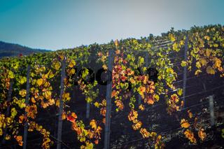 Weinlaub im Gegenlicht auf dem Rotweinwanderweg im Ahrtal