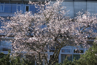 Prunus subhirtella Autumnalis, Schneekirsche, Pink Autumn Cherry