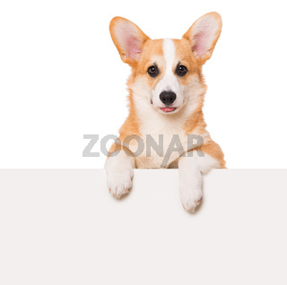 Welsh corgi isolated on white background