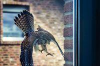 Falke im Sturzflug