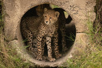 Cheetah cub standing in pipe beside another
