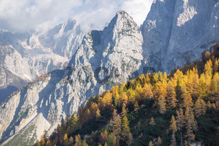 Larch forest in autumn, Slovenia