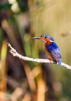 beautiful bird kingfisher, madagascar