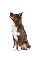 red Miniature American Shepherd dog
