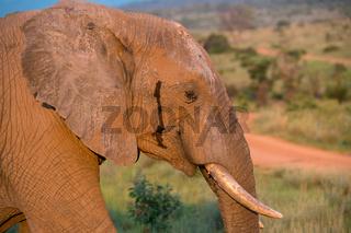 Elefant im Busch in Südafrika