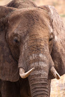 Kopf Elefant