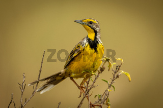 Yellow-throated longclaw perches on branch turning head