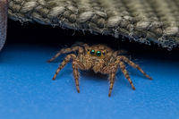 Tiny Jumping Spider On A Blue Surface