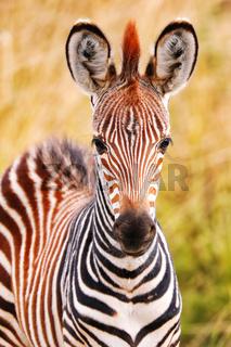 Junges Steppenzebra, South Luangwa Nationalpark, Sambia, (Equus quagga) | Young Plains Zebra, South Luangwa National Park, Zambia, (Equus quagga)