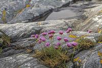 Strandnelke an  einer Felsküste