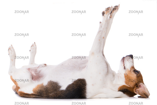 Adult beagle dog lying on back isolated on white background