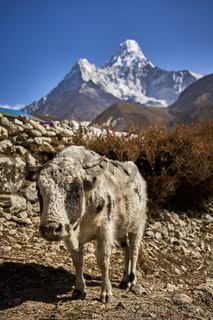 Weise Kuh vor dem Berg Ama Dablam in Nepal