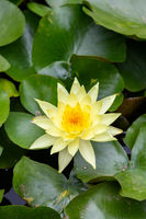 yellow water lilly with leafs in small pond