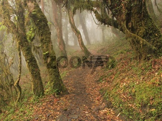 Footpath leading trough a forest with trees covered by green moss. Scene near Pokhara, Nepal.