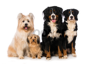 Four dogs isolated on white background