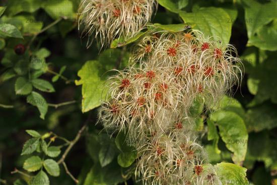 Fruchtstand der Waldrebe  (Clematis)